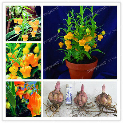 4 Bulbs - Lantern Lily Bulbs (Not Lily Seeds)