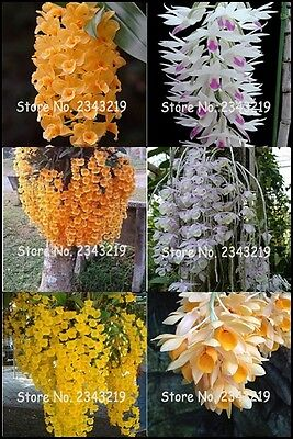 100 pcs Dendrobium Seeds, Potted Seed Flower In Bonsai Rare Orchid Plants