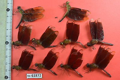 TH 61872 # Beetle  DRAGONFLY ODONATA Vietnam CENTRAL