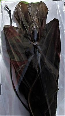 False Vampire Bat Megaderma spasma Hanging Taxidermy FAST SHIP FROM USA