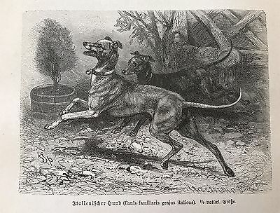 1893  Antique Engraving ITALIAN GREYHOUND DOG Original German Book Print
