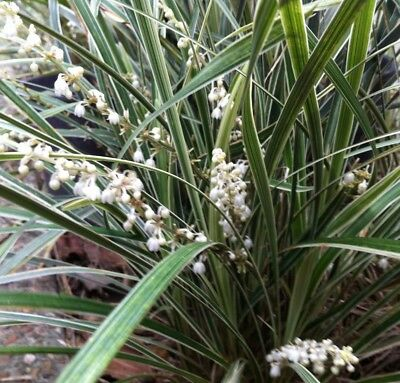 100 x STRIPEY WHITE Liriope muscari hardy variegated strappy plants in 75mm pots