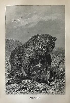 1893  Antique Engraving GRIZZLY BEAR Original German Book Plate