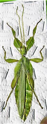 Amazing Leaf Mimic Phyllium celebicum Male FAST SHIP FROM USA