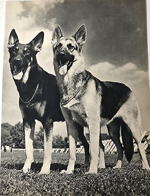 Vintage GERMAN SHEPHERD DOGS  Original Full Page Book Print Photographed by YLLA