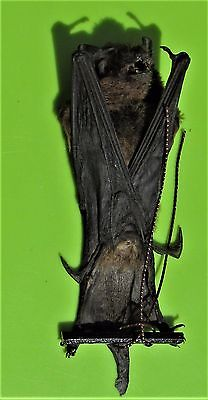 Lesser Bamboo Bat Tylonycteris pachypus Hanging FAST FROM USA