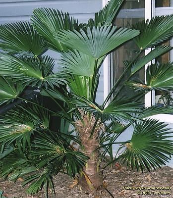 washingtonia palme 5 jungpflanzen wahingtonia robusta. Black Bedroom Furniture Sets. Home Design Ideas