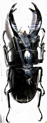 Javan Stag Beetle hexarthrius buqueti 70-75mm Male FAST FROM USA