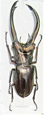 Lot of 10 Sumatran Stag Beetle Cyclommatus truncatus Male 60-65mm FAST FROM USA