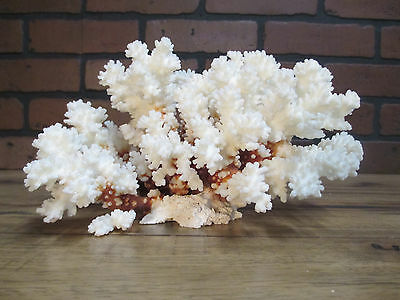"Natural Genuine Brown Stem Coral Home Decor 5 "" x 9 1/2"" BS-14"