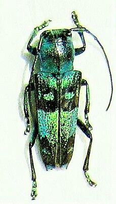 Fabulous Blue & Black Longhorn Beetle Glenea celestis FAST FROM USA