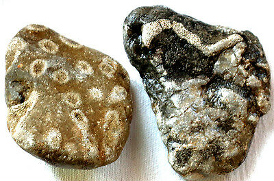 2 Branch Coral Fossil - Cladaphora - Devonian - 1.75 Pounds - Michigan