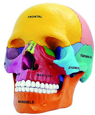 4D Vision Human Anatomical Models Didactic Exploded Skull Model UK STOCK