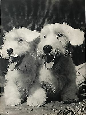 SEALYHAM TERRIER DOGS Original Full Page Book Print Photographed by YLLA