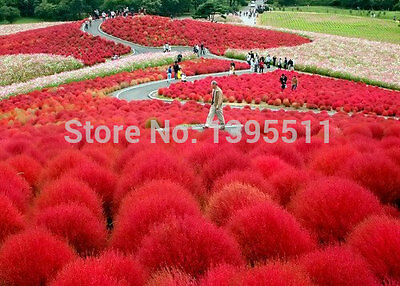 Grass seeds Perennial 300pcs Grass Burning Bush Kochia Scoparia Seeds Red Garden