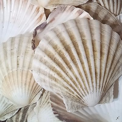 6x Large Natural Scallop Shells Sea washed 100% Natural UK Scallop Shell 7-12cm