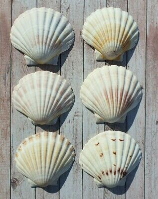 12x Large Natural Scallop Shells Washed White Clean 100% UK Scallop Shell 9-11cm