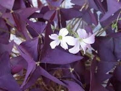 3 x Oxalis Triangularis purpurea bulbs.  FREE P&P.