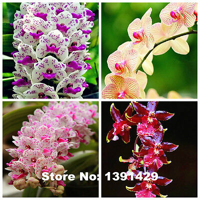 100pcs 22 colors Rare Cymbidium orchid, African Cymbidiums seeds, bonsai flower