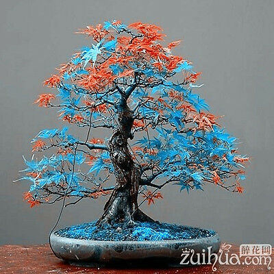 20 pcs Rare blue maple Seeds Bonsai Tree Plants Pot Suit for DIY home garden