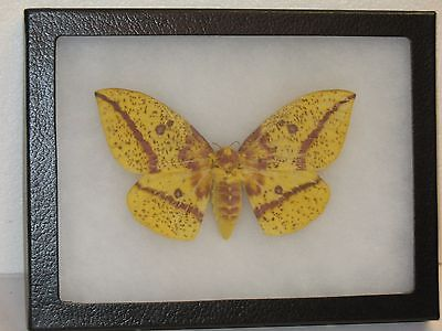 Real framed Imperial Moth Female from North America