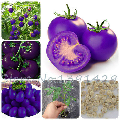 Purple sacred fruit tomato seeds vegetables and fruits seed 100 pcs / packing