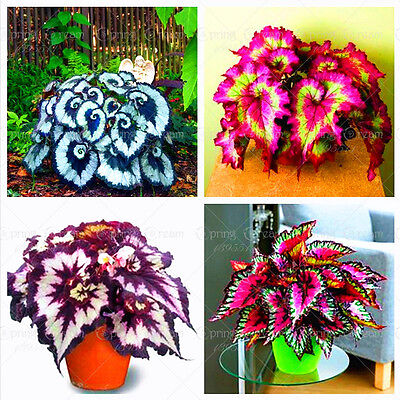 100pcs/bag begonia seeds bonsai flower seeds courtyard balcony Coleus seeds bego