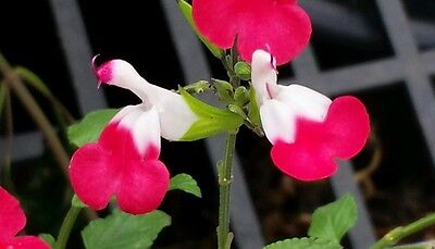 Salvia microphylla Hot Lips tubestock flowering plant.