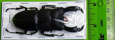 "Giant Stag Beetle Dorcus titanus typhon Male 80mm 3 1/8"" FAST SHIP FROM USA"