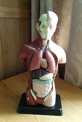 Anatomical Human torso figure teaching aid medical TOY display plastic 26cm 10""