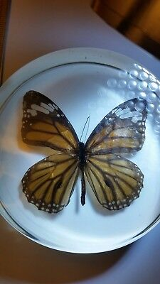"""3.5"""" Real Common Tiger Butterfly Dome Paperweight Clear #SS284#"""