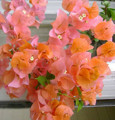 ORANGE GLORY Bougainvillea compact flowering climber plant in 140mm pot
