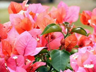 BAMBINO BOKAY Bougainvillea orange-pink flowers compact plant in a 140mm pot