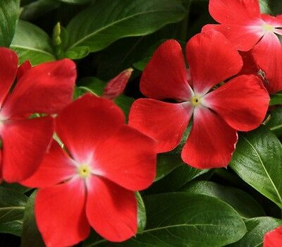 F0653 Vinca Pacifica Orange x20 seeds