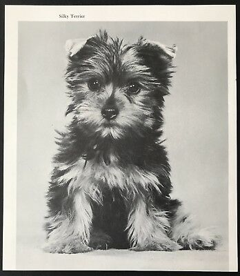 SWEET SILKY TERRIER PUP Dog Original Book Print Photographed by W. Chandoha