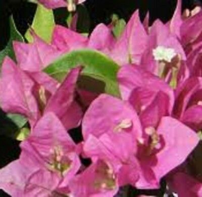 VERA PINK Bougainvillea spectabilis mass pink flowers plant in 140mm pot
