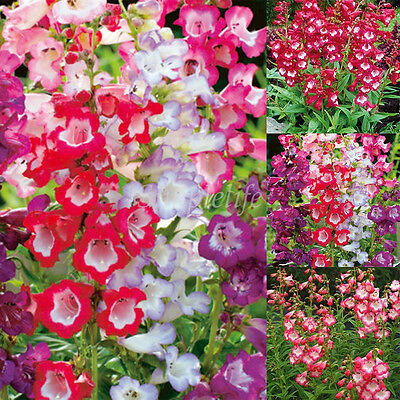 600Pcs Seeds Beardtongue Penstemon Sensation Mixed Color Perennial Flower Seeds