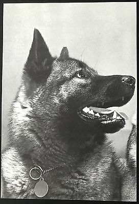 NORWEGIAN ELKHOUND Dog  Full Page Book Print Photographed by Walter Chandoha