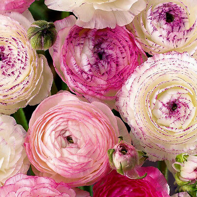 5 X Mix Ranunculus Flower Bulbs Colorful Seeds Perennials Spring Bloom Plant New