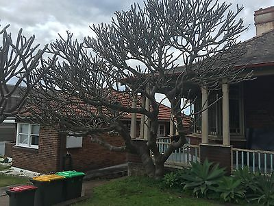 Grand Frangipani Tree - White Yellow Flowers- Whole Tree Or Large Offcuts