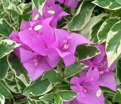 BLUEBERRY ICE Bougainvillea buttiana Compact Variegated flowering plant140mm pot