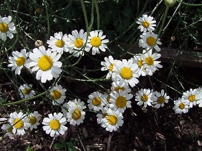 Pyrethrum insecticide (40 seeds)- Organic Heirloom Life-Force Seeds