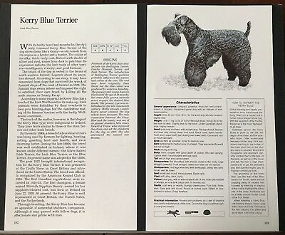 KERRY BLUE TERRIER DOG PRINT Breed Origin, Desc. Characteristics, Illustrations