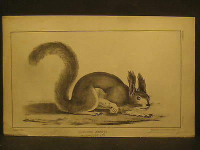R. H. Kern,  Tassel Eared Squirrel , Litho 1854