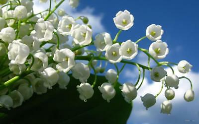 100 pcs White Lily of the Valley Flower Convallaria Majalis Seeds Aroma Bonsai