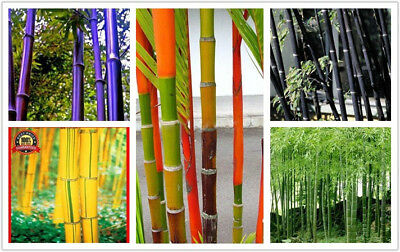 5pack Tinwa Green Phyllostachys Pubescens Moso-Bamboo Seeds Garden Plants Bamboo