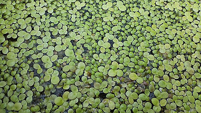 Greater duckweed Spirodela polyrhiza one portion-LIVING PLANTS NOT SEED