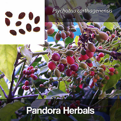 Dried berries Psychotria carthagenensis, Amyruca Ayahuasca Chacruna seeds fruits