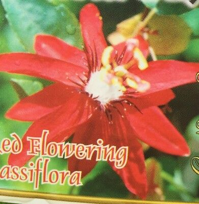 RED FLOWING PASSIFLORA coccinea climbing large flowers plant in 140mm pot