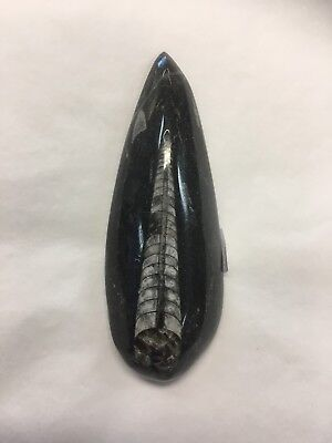 Orthoceras Fossil From Morocco - 400 Million Years Old